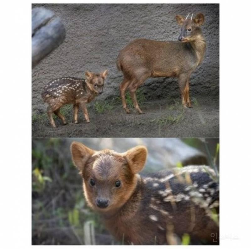 세계에서 가장 작은 사슴.jpg   인스티즈