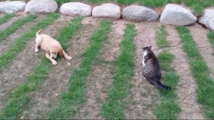 고양이한테 맞고 운 골든리트리버 (불쌍주의) | 인스티즈