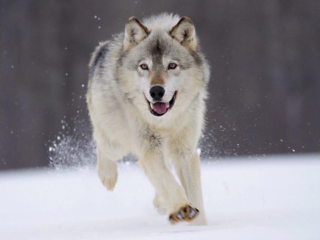늑대 실제 크기.jpg | 인스티즈