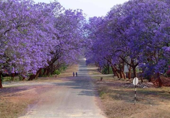 호주의 보라색 벚꽃으로 불리는 자카란다.....jpg | 인스티즈