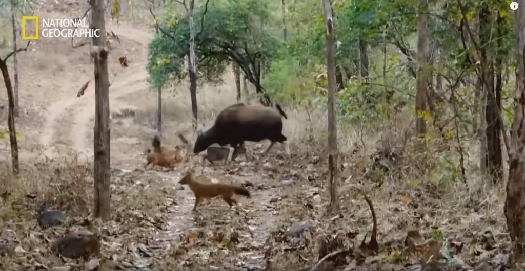 들개 떼로부터 새끼를 지키려는 어미 인도들소의 고군분투   인스티즈