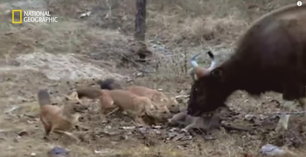들개 떼로부터 새끼를 지키려는 어미 인도들소의 고군분투 | 인스티즈