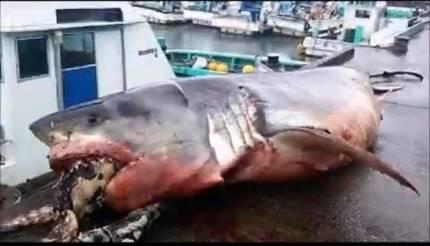 바다거북 먹다가 질식사..일본 앞바다서 백상아리 죽은 채 발견 | 인스티즈