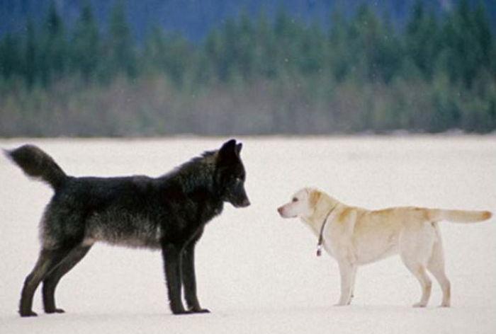 리트리버에게 접근한 늑대…잠시 뒤 벌어진 놀라운 일   인스티즈