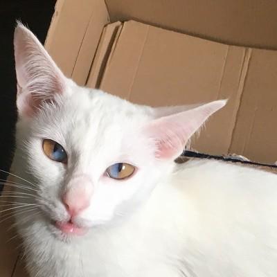 신기한 한 눈에 두가지 색이 들어있는 파이아이 고양이 | 인스티즈