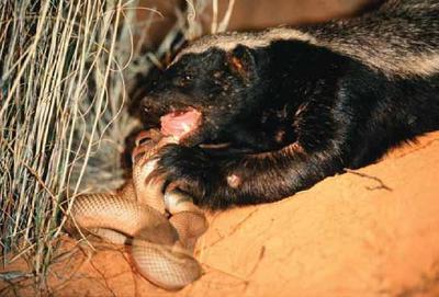 가장 겁이 없는 동물으로 기네스북에 오른 아프리카의 깡패.jpgif | 인스티즈