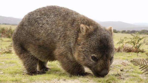 네모난 똥을 싸는 호주의 대표 귀염둥이 동물...jpg | 인스티즈