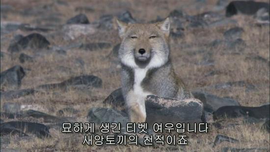 티베트에 사는 치명적인 귀여움의 소유자.jpgif | 인스티즈