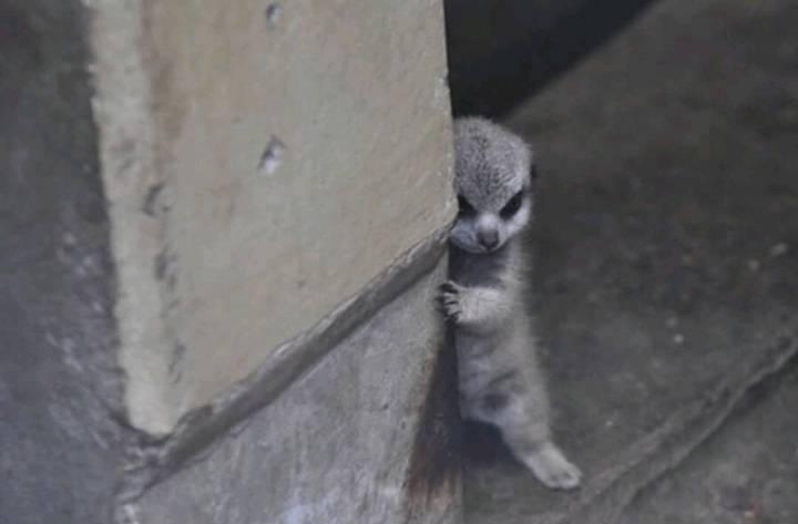 숨는게 아직 어설픈 아기 미어캣 | 인스티즈