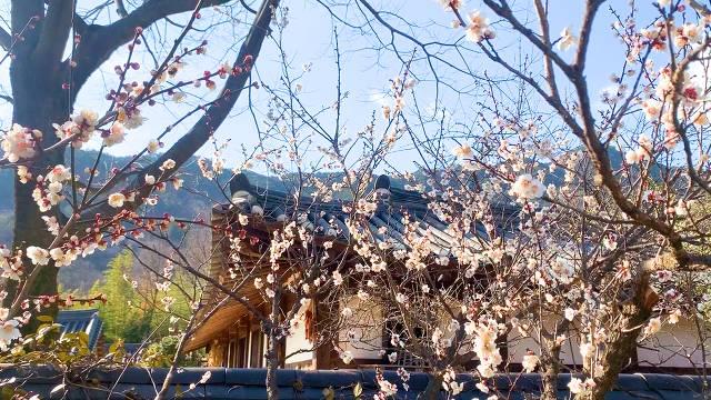 노란 봄의 향연 구례 산수유! 대리만족 하고 가세요! | 인스티즈