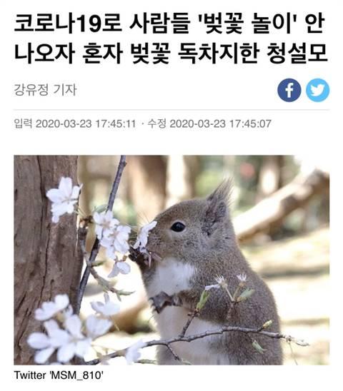 코로나19로 사람들 '벚꽃 놀이' 안 나오자 혼자 벚꽃 독차지한 청설모 | 인스티즈