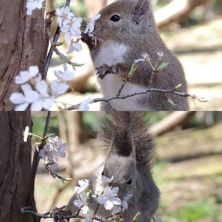 벚꽃놀이 취소로 벚꽃 독차지한 청설모 | 인스티즈