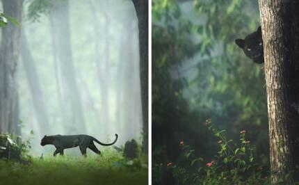 인도 정글에서 목격된 희귀 흑표범 (블랙팬서) | 인스티즈