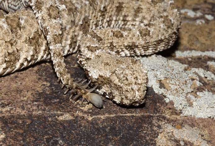 꼬리를 거미 모습으로 흉내내는 뱀.gif (뱀사진주의) | 인스티즈