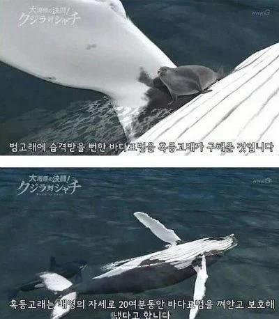 바다의 대천사 혹등고래...jpg | 인스티즈