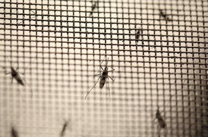 미국 플로리다에 모기 7억 5천 마리 방사 예정   인스티즈
