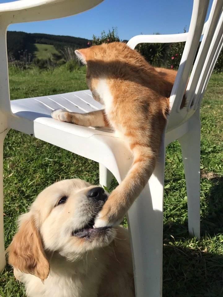 고양이 다리 문 골든 리트리버 댕댕이.jpg   인스티즈